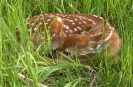 Newborn Whitetail