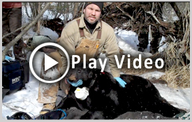 DNR Black Bear Den Visit